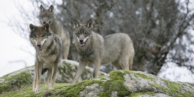 lupo del matese