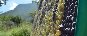 Festa dell'Uva Solopaca