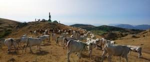 Vacche rivolta Morcone